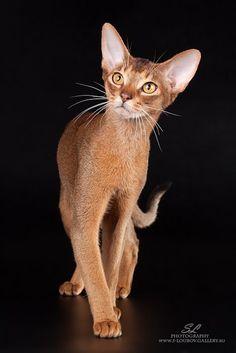 Best Abyssinian Cat IW SGC DESCAVALIER ETERNITY Ruddy Ticked Tabby Irina Kudryavtseva