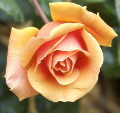 Royal Sunset rose - outside my bedroom window in the house I grew up in