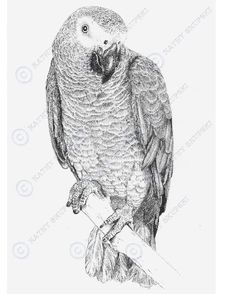 African Grey pencil drawing. Parrot Drawing, Parrot Painting, Watercolor Projects, Watercolor Bird, Bird Drawings, Animal Drawings, Senegal Parrot, Mediums Of Art, African Grey Parrot