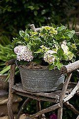 #hydrangeas #galvanized #bucket