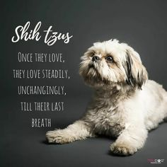 My sweet little Mia. This is so much like her ==> visit http://www.amazingdogtales.com/gifts-for-shih-tzu-lovers/