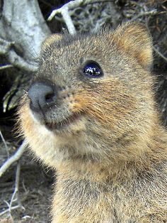 'Quokka' by Mel Barrett. A Quokka from Rotnest Island Penguin Animals, Happy Animals, Cute Funny Animals, Cute Baby Animals, Animals And Pets, Cute Creatures, Beautiful Creatures, Animals Beautiful, Animal Attack