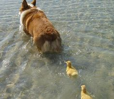 dog & goslings ~ nature doing what nature does best