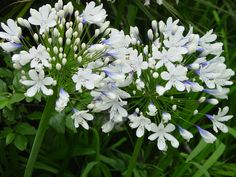 6 Of the best agapanthus for any garden Agapanthus praecox 'Blue Ice' White Perennial Flowers, Flowers Perennials, Planting Flowers, White Agapanthus, Agapanthus Garden, White And Blue Flowers, Big Flowers, Garden Deco, Gardens