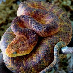 This is Atheris Squamigeria, one of the most beautiful snakes. Yet one shouldn't go by the beauty, this snake is a venomous viper. Beaux Serpents, African Bush Viper, Beautiful Creatures, Animals Beautiful, Serpent Venimeux, Poisonous Snakes, Colorful Snakes, Cute Snake, Snake Funny