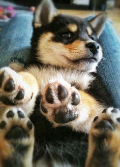 Black and Tan Shiba Inu Pup ♡♡♡ Puppies And Kitties, Cute Puppies, Cute Dogs, Corgi Puppies, Baby Animals, Funny Animals, Cute Animals, Chien Shiba Inu, Shiba Puppy