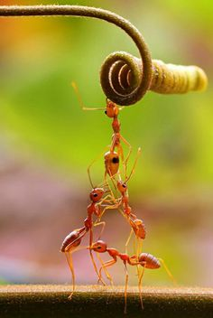 Great teamwork by ants...
