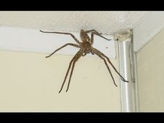 Giant Spider! World's Biggest Spider Giant Huntsman Spider.  (DON'T WATCH THIS!!!  I MEAN IT!  IT WILL FREAK YOU OUT AND YOU MAY NEVER BEAD ANOTHER SPIDER AGAIN!)