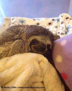 Baby sloth in sanctuary found attached to its mother after she was hit crossing the road