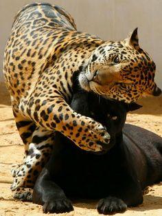Grandes felinos Incluye a las cuatro especies de felino en el género Panthera: el león (Panthera leo), tigre (Panthera tigris), leopardo (Panthera pardus) y el jaguar (Panthera onca)