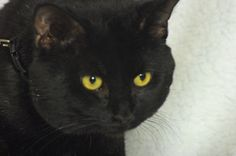 Simba is an adoptable Domestic Medium Hair-Black And White Cat in Indianapolis, IN. Simba is a beautiful black cat and is very playful. He would make a welcomed addition to your home. Come and see him...
