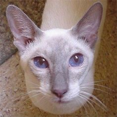lilac point.  This was my first kind of Siamese cat.  His name was Nippon..AKA..Scooby.