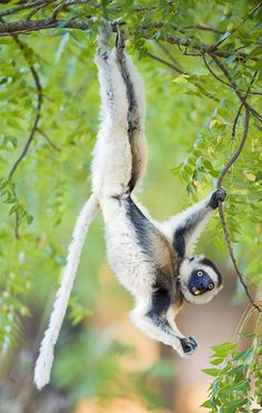 Just hangin' around.  Madagascar  Photo by: Todd Gustafson,   Gustafson Photo Safari