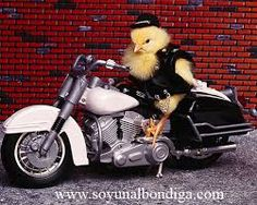 Who doesnt love a cute chick on a Harley? Funny Animal Videos, Funny Animals, Cute Animals, Animals Beautiful, Animal Pictures, Cute Pictures, Funny Wallpapers, Biker Chick, Funny Comics