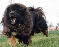 Tibetan Mastiff - Cerca con Google