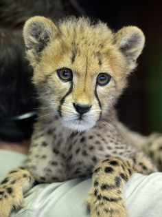 llanga the cheetah cub has the sweetest face on the planet.   Photo: Mike Wilson