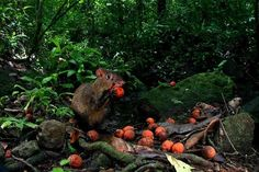 """Robbing Rodents Save Tropical Plant   by Krystnell A. Storr. """"Call it the Robin Hood of rodents. When the cat-sized agouti comes across seeds buried by its comrades, it digs them up and hides them in a new place. The robberies are selfish, to be sure, but a new study reveals that they may be saving a tropical tree from extinction."""""""