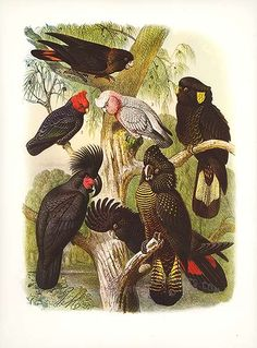 Antique print: picture of Cockatoos (Glossy Black, Gang-gang, Rose, Yellow-eared, - Great Black, Banksian and Red-tailed Black)