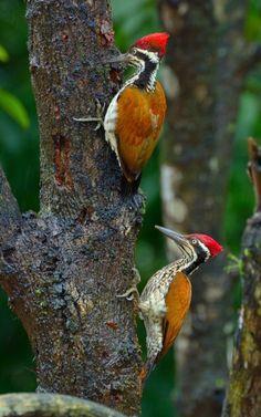 Flameback Woodpecker on Flickr.