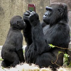 Visitors to a zoo were amazed to see a gorilla playing with a Nintendo DS at San Francisco Zoo. And people insist in telling that animal are inteligent. Primates, Animals And Pets, Baby Animals, Funny Animals, Female Gorilla, San Francisco Zoo, Super Cute Animals, Tier Fotos, Pet Birds