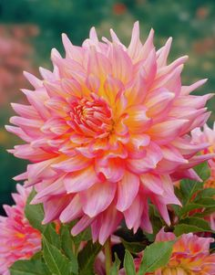 Dahlia 'Kidds Climax' • Plants & Flowers • 99Roots.com