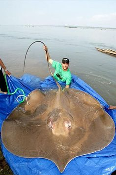 "The Giant Stingray, found in Thailand, Indonesia and Malaysia's muddy rivers, can grow up to pounds. Due to their painful sting, they're also called ""wish-you-were-dead fish."" (photo: Zeb Hogan)- this reminds me of that River Monsters episode River Monsters, Sea Monsters, Giant Animals, Cute Animals, Large Animals, Funny Animals, Beautiful Creatures, Animals Beautiful, Dead Fish"