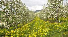 Blooming of apple trees #valdinon #spring #primavera #trentino