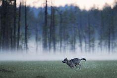 endangered eurasian wolf, kuhmo, finland