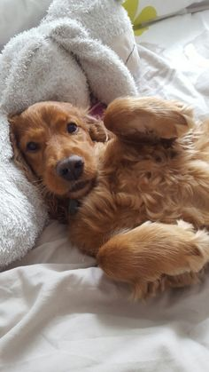 If my love could have saved you, you would have lived forever ❤ American Cocker Spaniel, Cocker Spaniel Puppies, English Cocker Spaniel, Cute Puppies, Cute Dogs, Dogs And Puppies, Animals And Pets, Cute Animals, Cockerspaniel