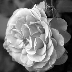 Delicate Petals II