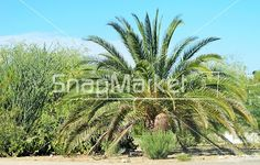 Stock Photo, Image or Illustration of A Palm And Ocotillo Trees In Arizona