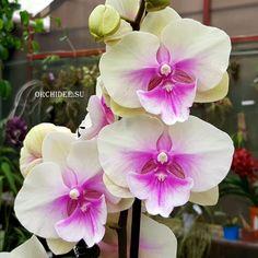 Tree Identification, Big Lips, Phalaenopsis Orchid, Planting Flowers, Friends, Plants, Nursery Trees, Gardening, Garden