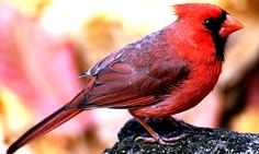 red cardinal bird | ... northern cardinal is probably the most well known cardinal description