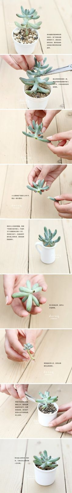 """Okay, I have this succulent, it's too tall, and I want to do this. I read pictures pretty good, but do you think # 5 says, """"leave in air"""" or """"put in water""""? :)"""
