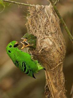 Green Broadbill. !IEC