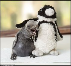 Cuddly companion: Keepers have placed a toy penguin in the chick's box so that it becomes ...