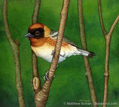 Baybreasted Warbler Original Transparent Watercolor by BohanArt