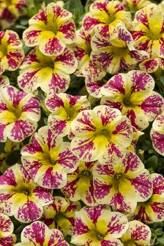 Superbells® Holy Moly!™ - Calibrachoa hybrid. heat tolerant. hanging baskets and containers. Yellowing foliage and fewer blooms may mean plants need to be fertilized. 10-20-10 formula. If symptoms persist,may need iron supplement
