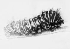 Caterpillar, Artist Sean Briggs producing a sketch a day, prints available at https://www.etsy.com/uk/shop/SketchyLife #art #caterpillar #drawing #http://etsy.me/1rARc0J
