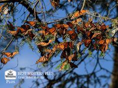 EL MEJOR HOTEL DE MORELIA. En Best Western Plus Gran Hotel Morelia, le recomendamos que en su próxima visita por la capital, vaya a visitar Angangueo. Un pueblo en el cual, se puede disfrutar el espectáculo de la llegada de la mariposa monarca que se posa entre los bosques de oyamel de este majestuoso lugar. #bestwesternplusgranhotelmorelia
