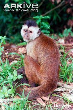 Ka'apor capuchin.  Critically endangered.
