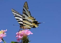 Papillon, Auberge, Dans Une Fleur