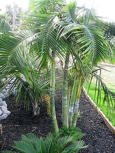 Dypsis baronii (clustering palm and they grow in fallbrook)