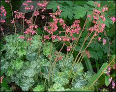 Coral Bells Snow Angel