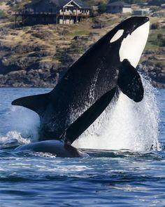 die 397 besten bilder von orcas in 2020 | wale, tiere und wassertiere
