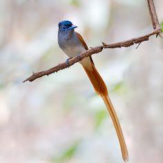 Asian Paradise-Flycatcher by Khai Down
