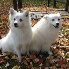 Do we look beautiful on fall leaves or what?!?! Check the bio link for more pics videos and dog toy info! Tag your friends! #americaneskimo #puppy #dog #dogs #cute #pets #fluffy #love #milky #sparky #puppylove #instadog #instadogs