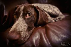 German Shorthaired Pointer - The Look