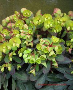 Euphorbia 'Efanthia' s an evergreen perennial with whorls of red-flushed, dark-green, lance-shaped leaves that have red undersides. From early summer to early autumn, it bears clusters of lime-green flowers on red stems.