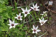 Tulipan clusiana Peppermint Stick (15 løg) - Botanisk tulipan